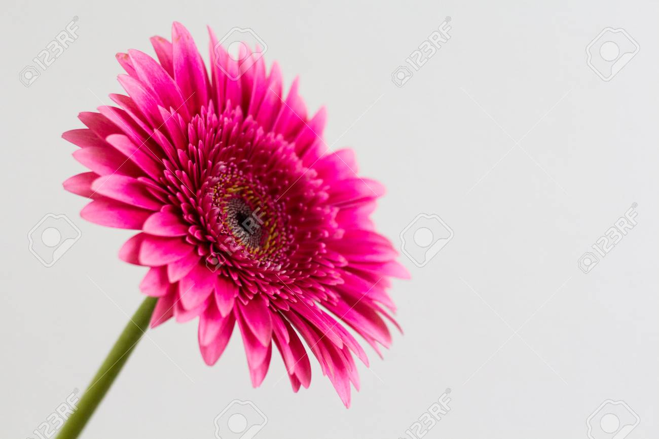 Single Pink Gerbera Daisy Isolated On A White Background Stock Photo,  Picture And Royalty Free Image. Image 106501730.
