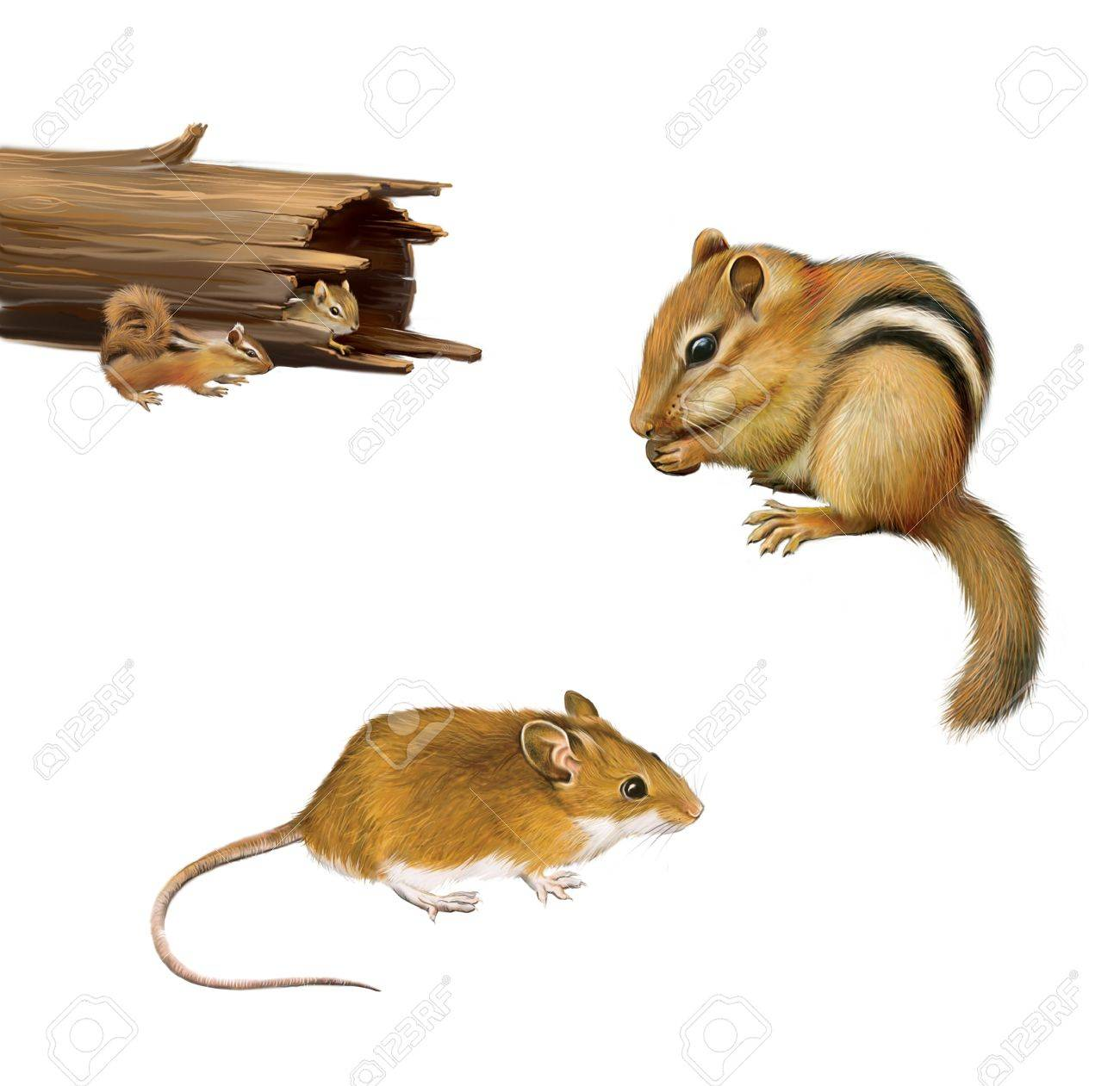 Rodents  chipmunk eating a nut, yellow brown mouse, two chipmunks in a fallen log, Isolated on white background Stock Photo - 19340744