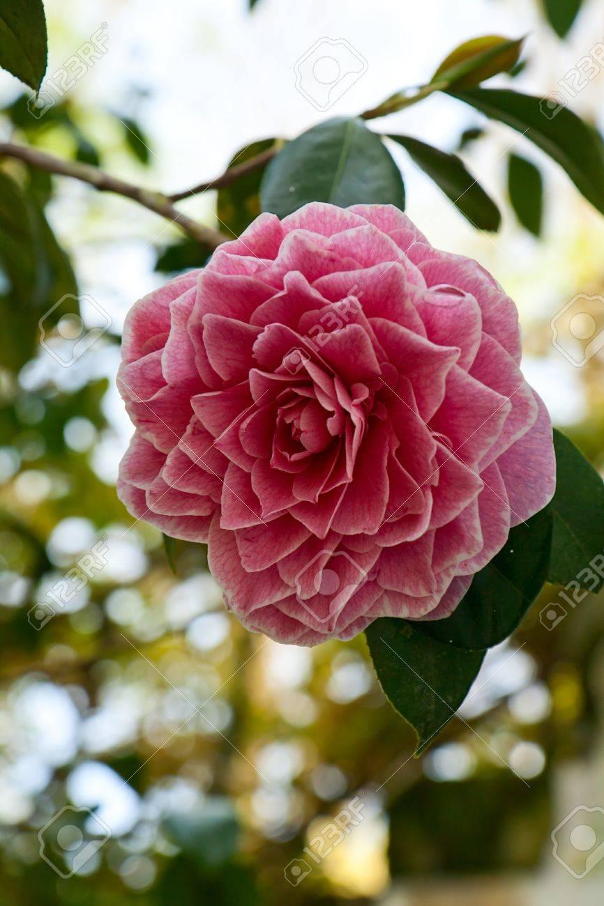 Beautiful Pink Japanese Flowers Free Best Hd Wallpapers