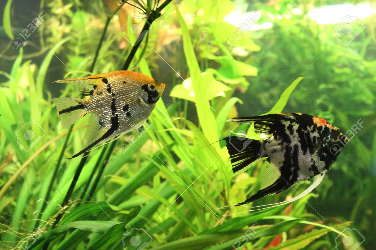 Freshwater aquarium fish angelfish - Aquarium Fish Angelfish Scalars Stock Photo 36661606