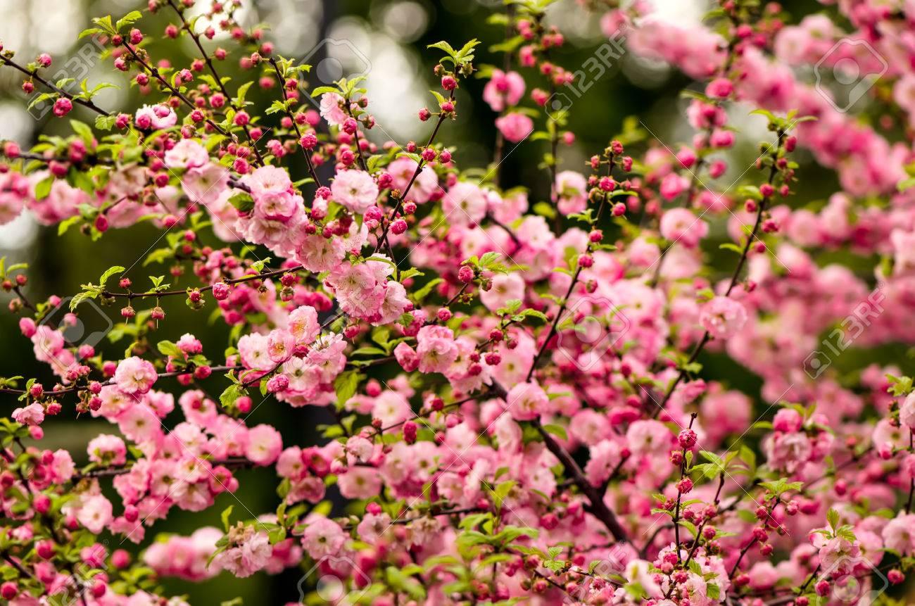 Prunus triloba louiseania blossoms spring bush of almond with prunus triloba louiseania blossoms spring bush of almond with beautiful pink flowers mightylinksfo Images