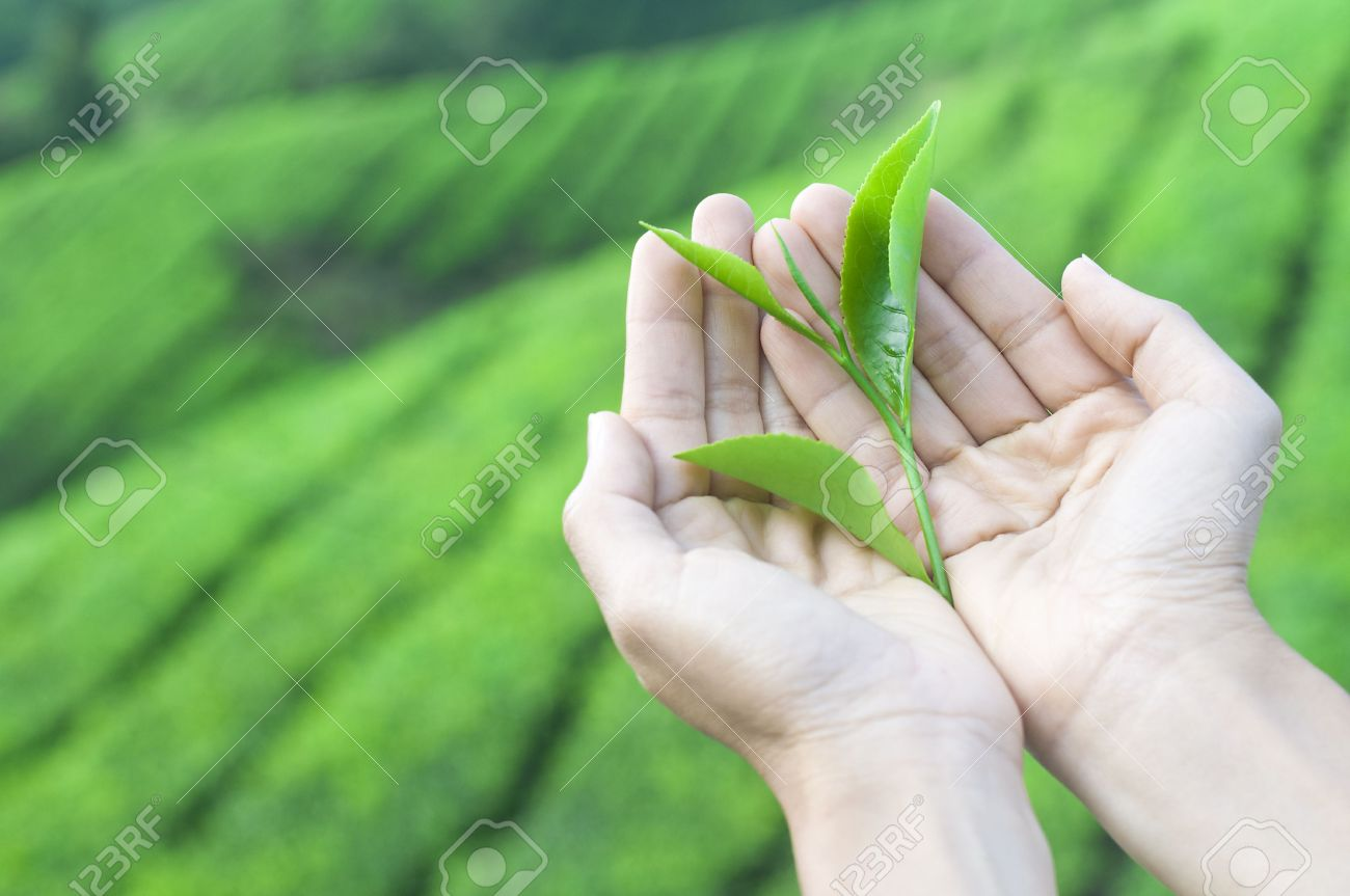 a pair of hand holding tea leaf harvest from nature Stock Photo - 6338629
