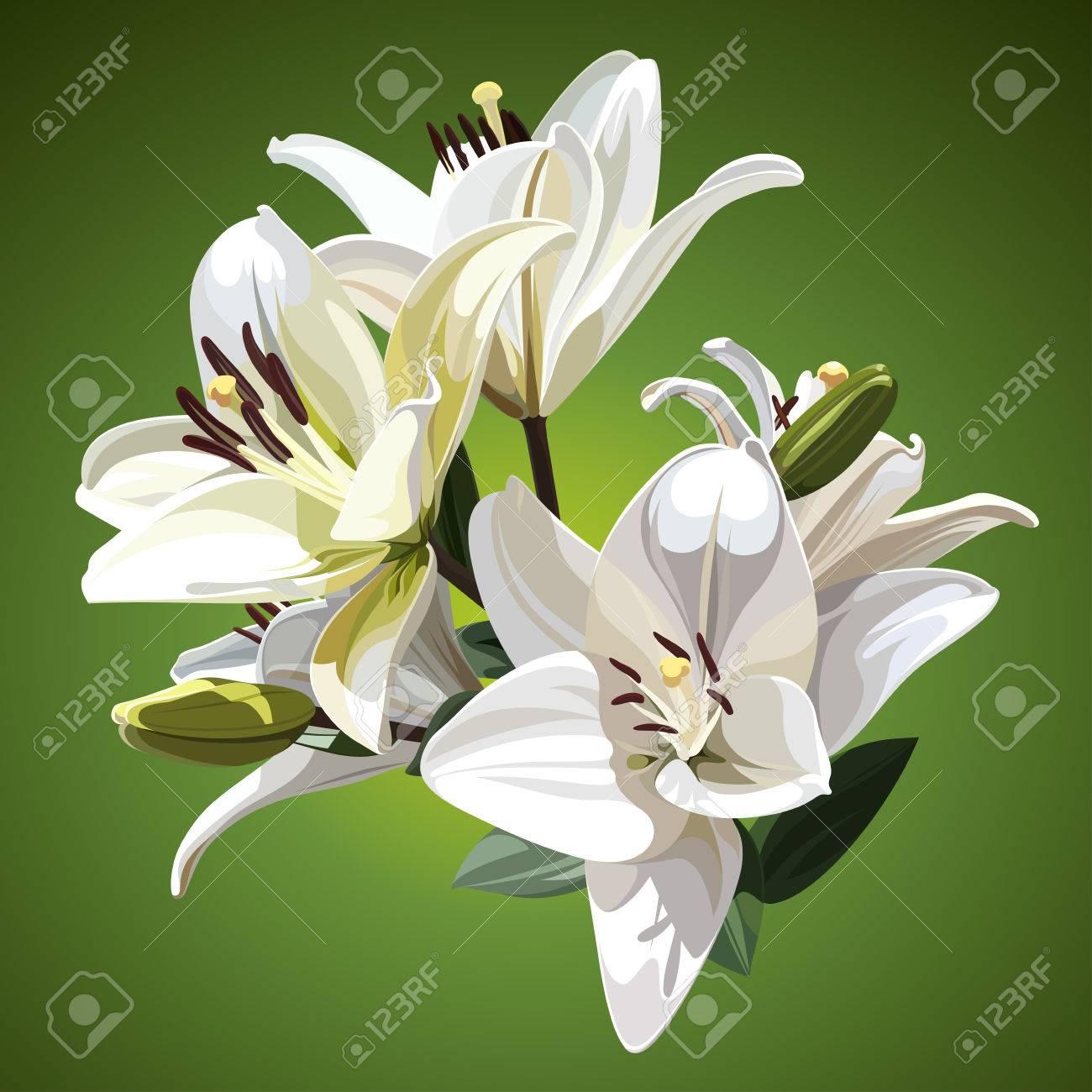 White flowers of lilium candidum madonna lily illustration white flowers of lilium candidum madonna lily illustration on green background stock izmirmasajfo Gallery