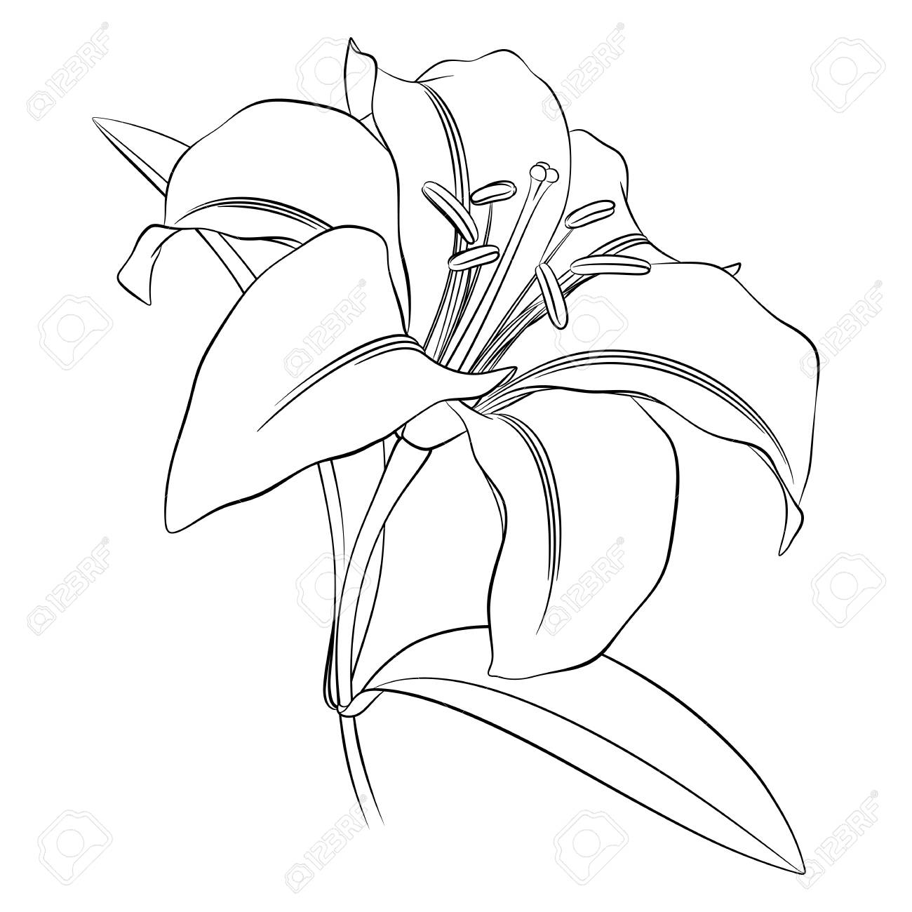 Black Outline Of A Lily Flower On A White Background For Coloring