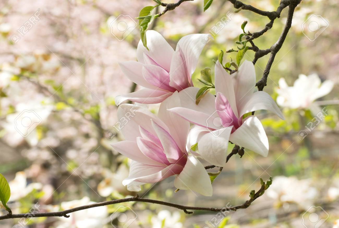 Mysterious Spring Floral Background With Blooming Pink Magnolia