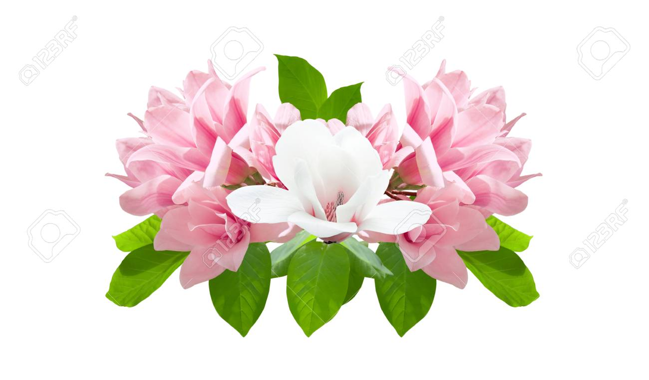 Pink And White Magnolia Flowers Isolated On White Background