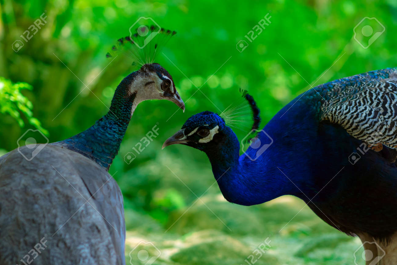 Two cute peacocks; male and female, looking at each other lovingly on a blur green background. - 171422646