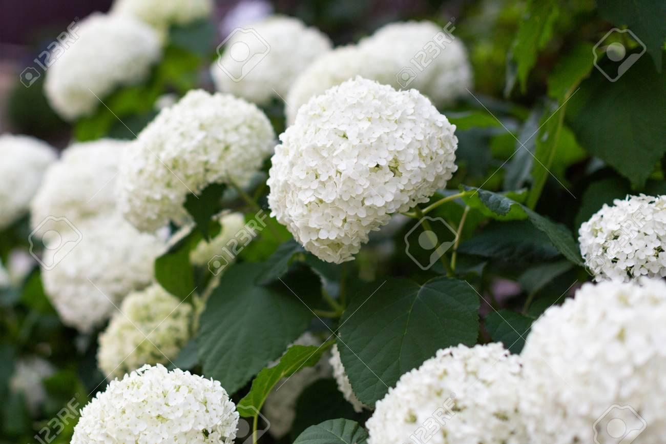 The Bush Of Blooming White Japanese Hydrangeas Ajisai Many Flowers