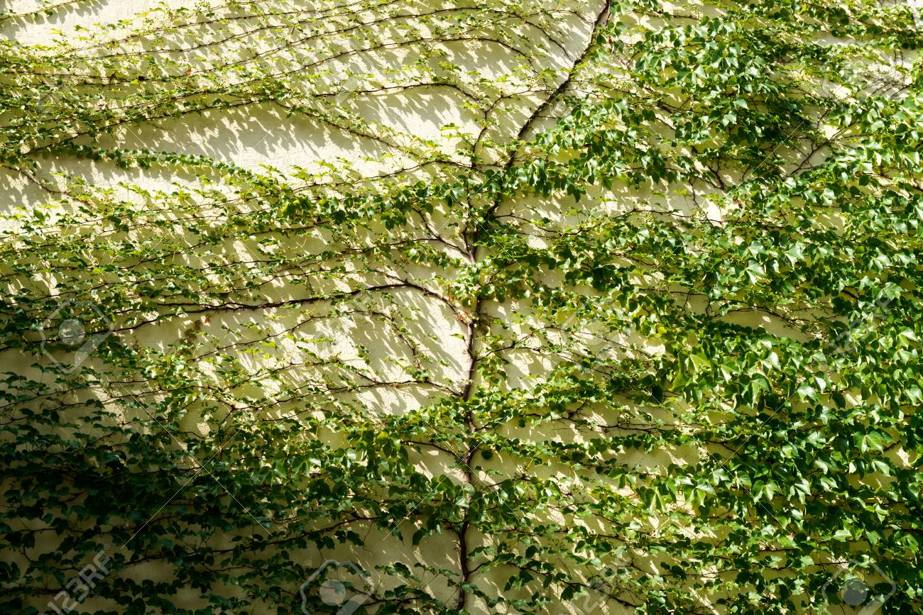 Wall Of Green Climbing Plant Full Screen As Background Stock Photo ...