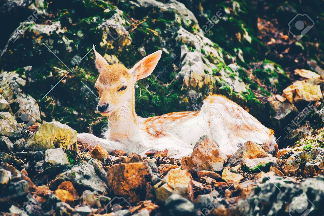 Young deer laying down on the rocky stones. Archivio Fotografico - 84783443