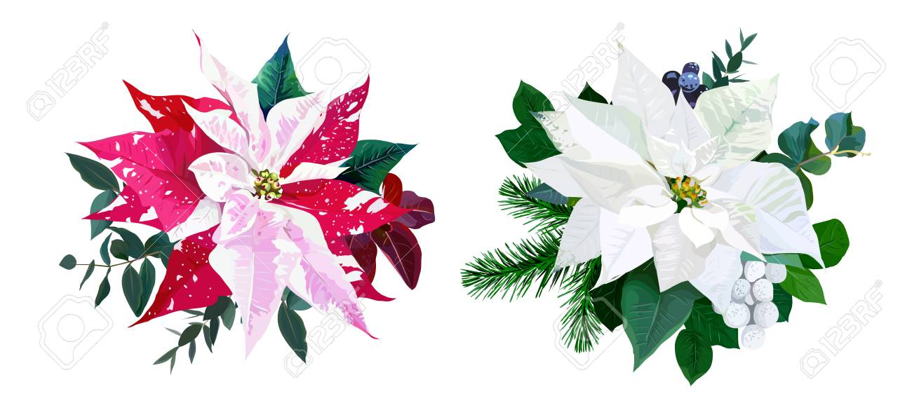 Christmas Greenery Vector.Christmas Bouquets Arranged From Red And White Poinsettia Fir