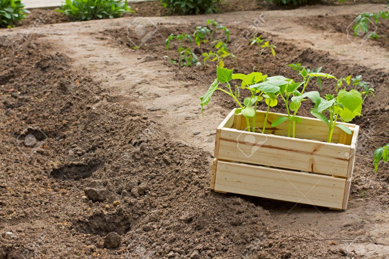 Wooden Box With Small Cucumber\'s Sprouts Ready For Seeding On ...