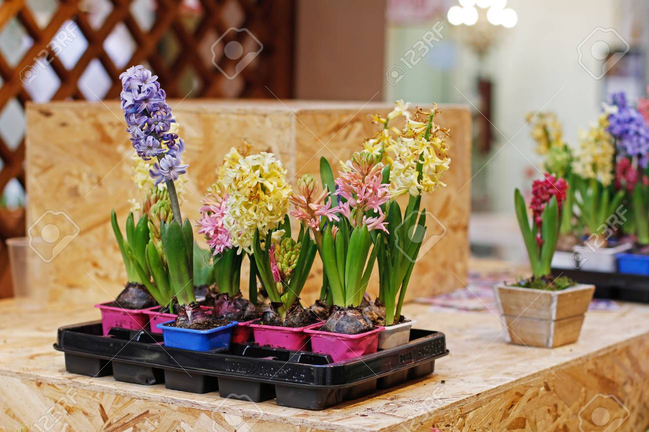 123RF.com & Colorful beautiful hyacinth flowers in plastic flower pots stand..