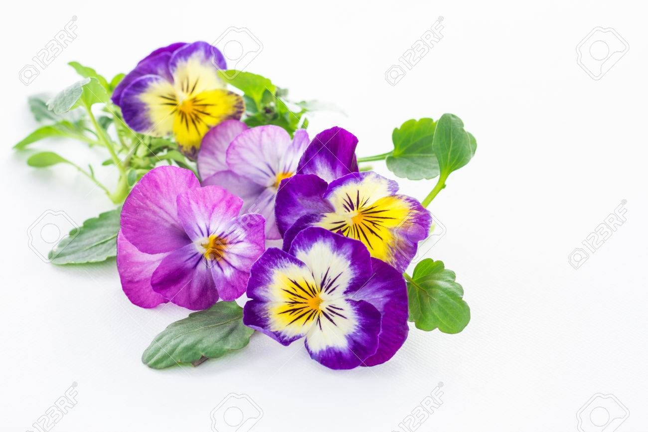 Pansy Stock Photos Royalty Free Pansy Images