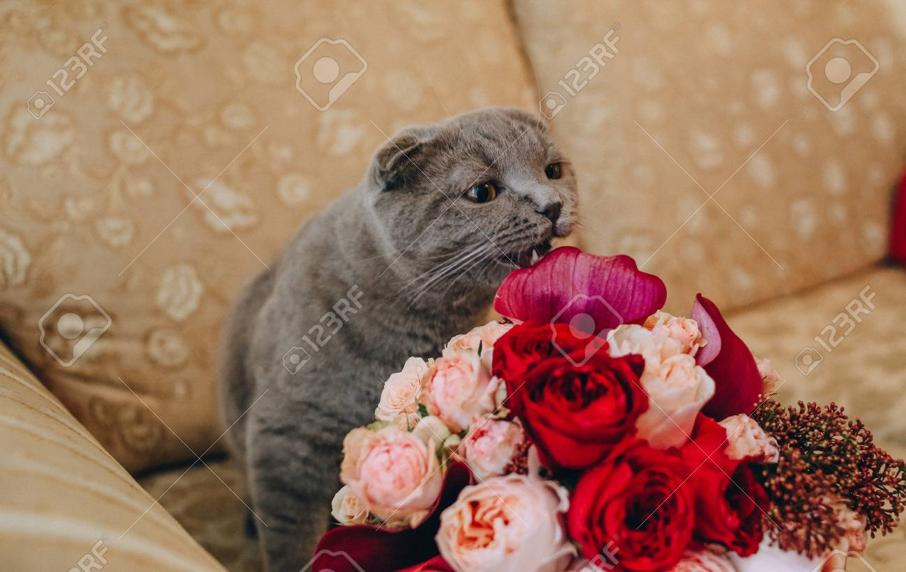 Gray Big Cat On The Couch Sniffing A Bouquet Of Flowers Roses Stock ...