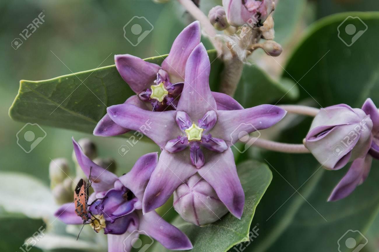 Purple crown flower giant indian milkweed giant milkweed purple crown flower giant indian milkweed giant milkweed calotropis gigantea l izmirmasajfo