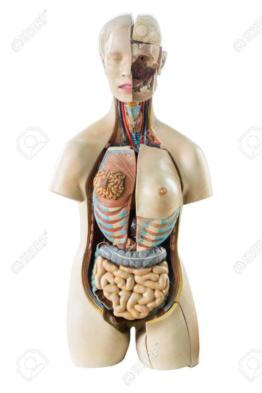 Synthetic Human Torso Model With Organs Isolated On White Background ...