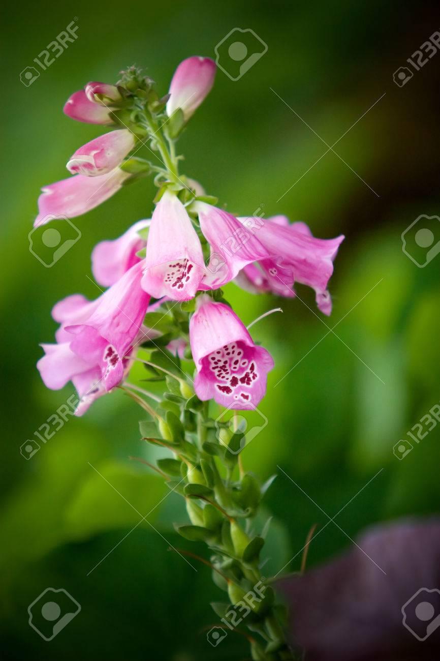 Pink Digitalis Purpurea Flowers Foxglove Or Ladys Glove Stock