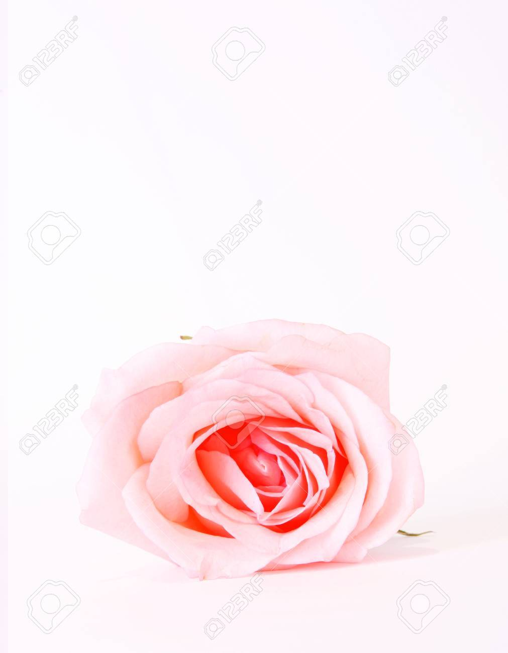 Pink beauty rose over white background. Flower Stock Photo - 5955198
