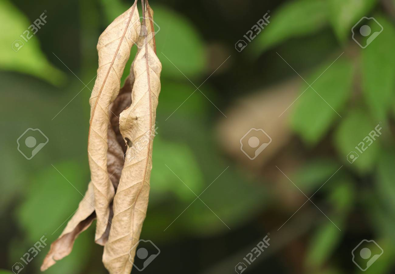 The contrast of a dry leaf over natural green background Stock Photo - 8912573