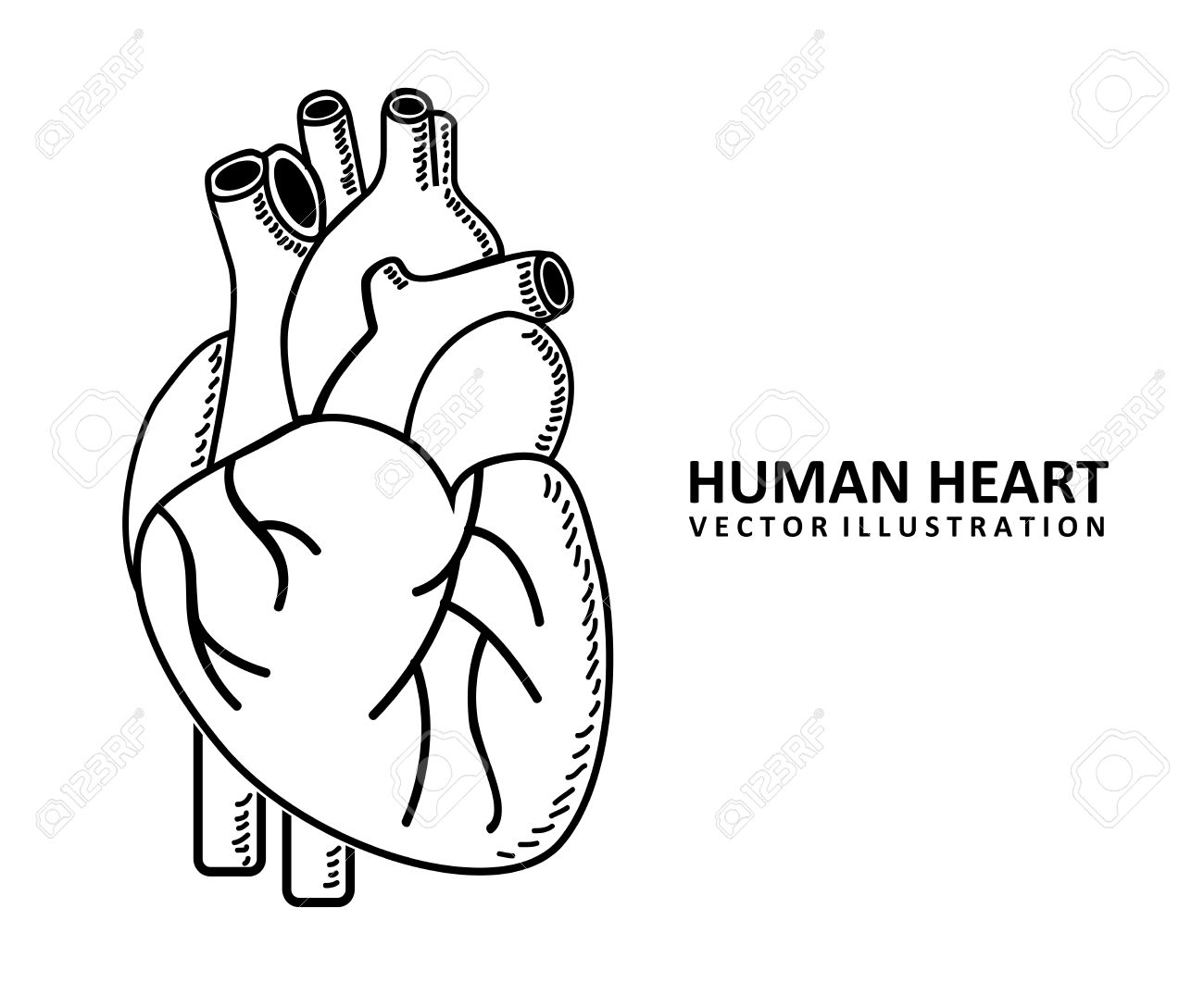 Human Heart Vector Black And White Vector Human Heart Design
