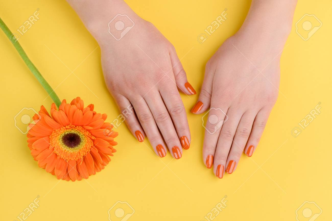 Gerbera flower and woman hands on yellow background. Nails polished with orange lacquer. - 107037344
