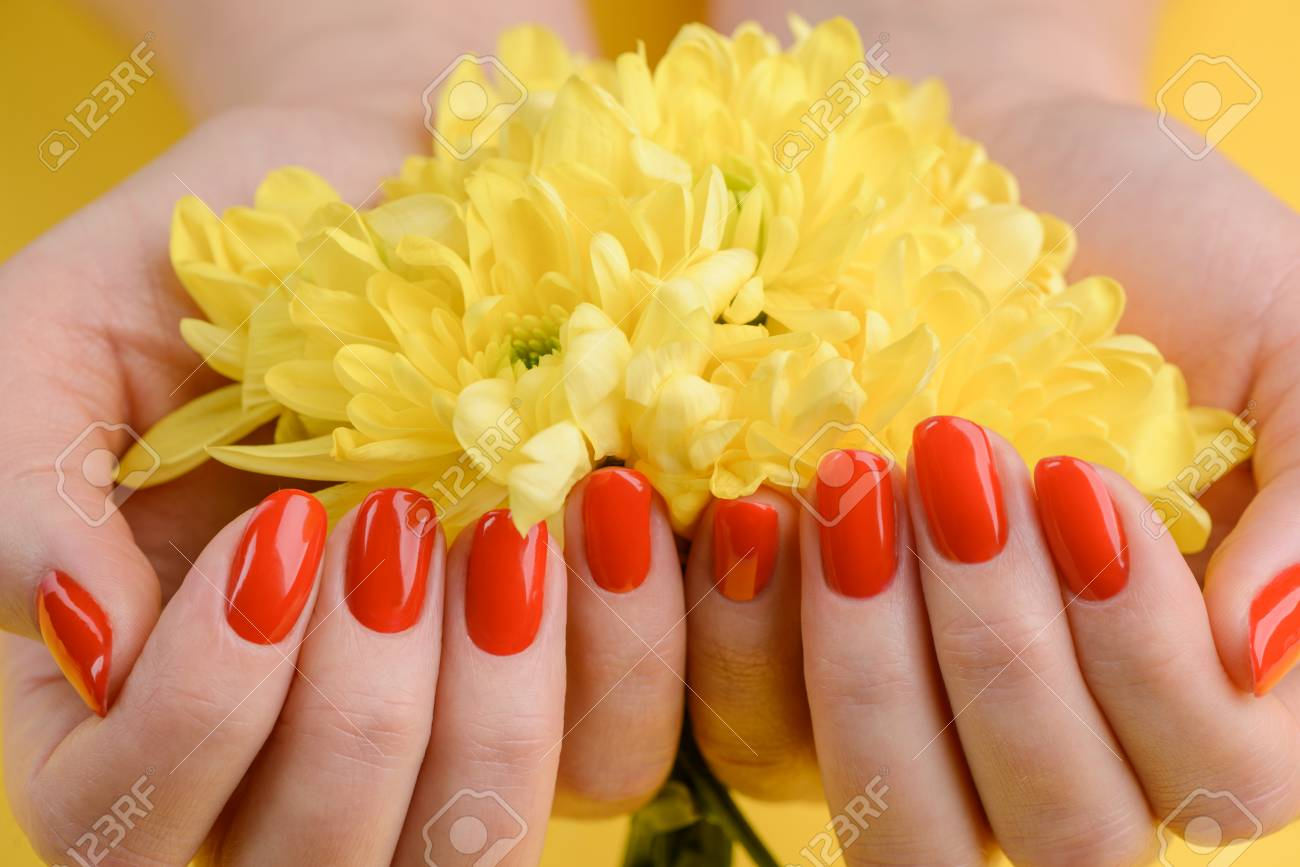 Red nails and yellow gerberas. Beautiful composition of vivid colors. Groomed and healthy womans hands. - 107037360