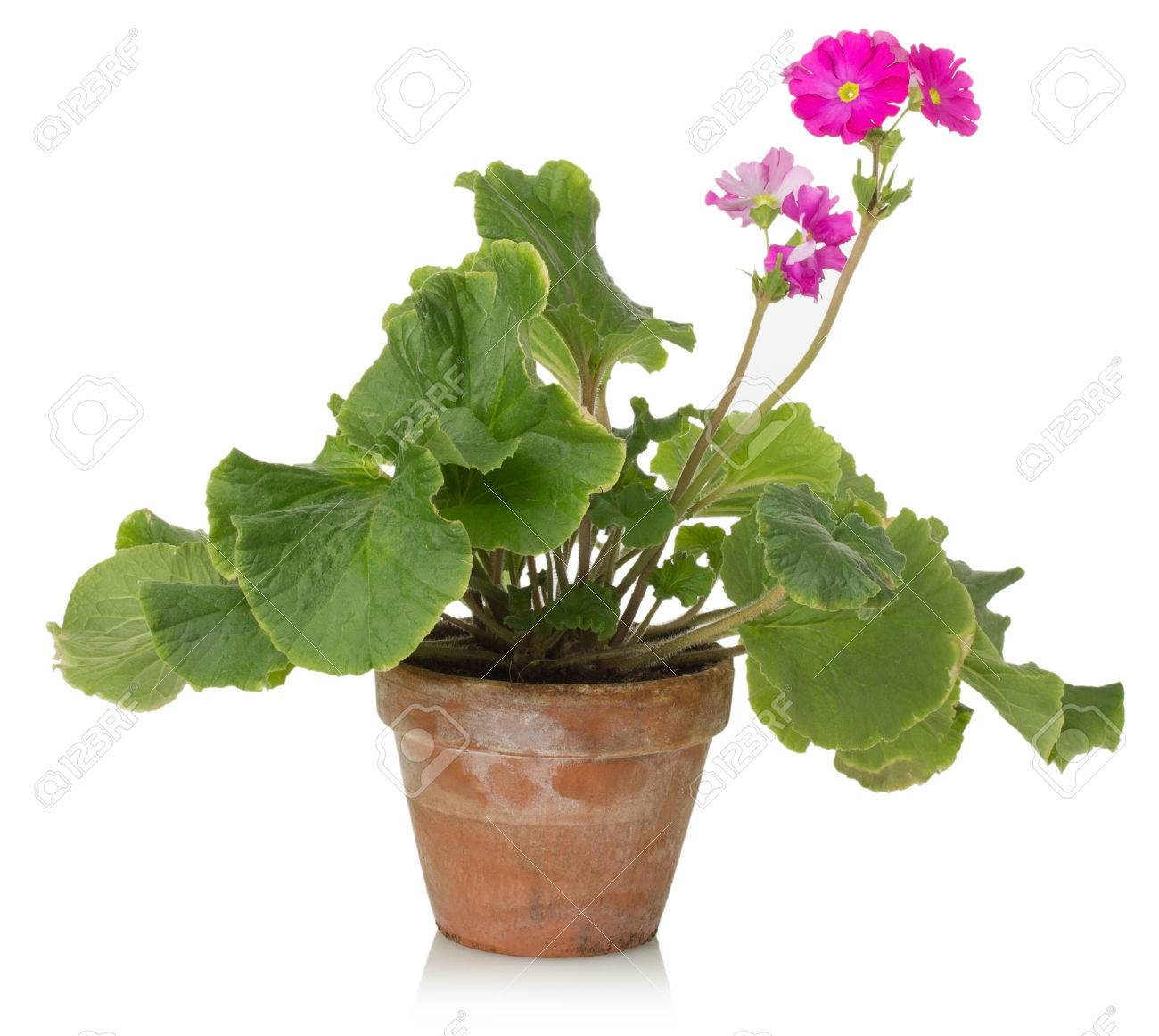 Houseplant With Pink Flower On A White Background Stock Photo