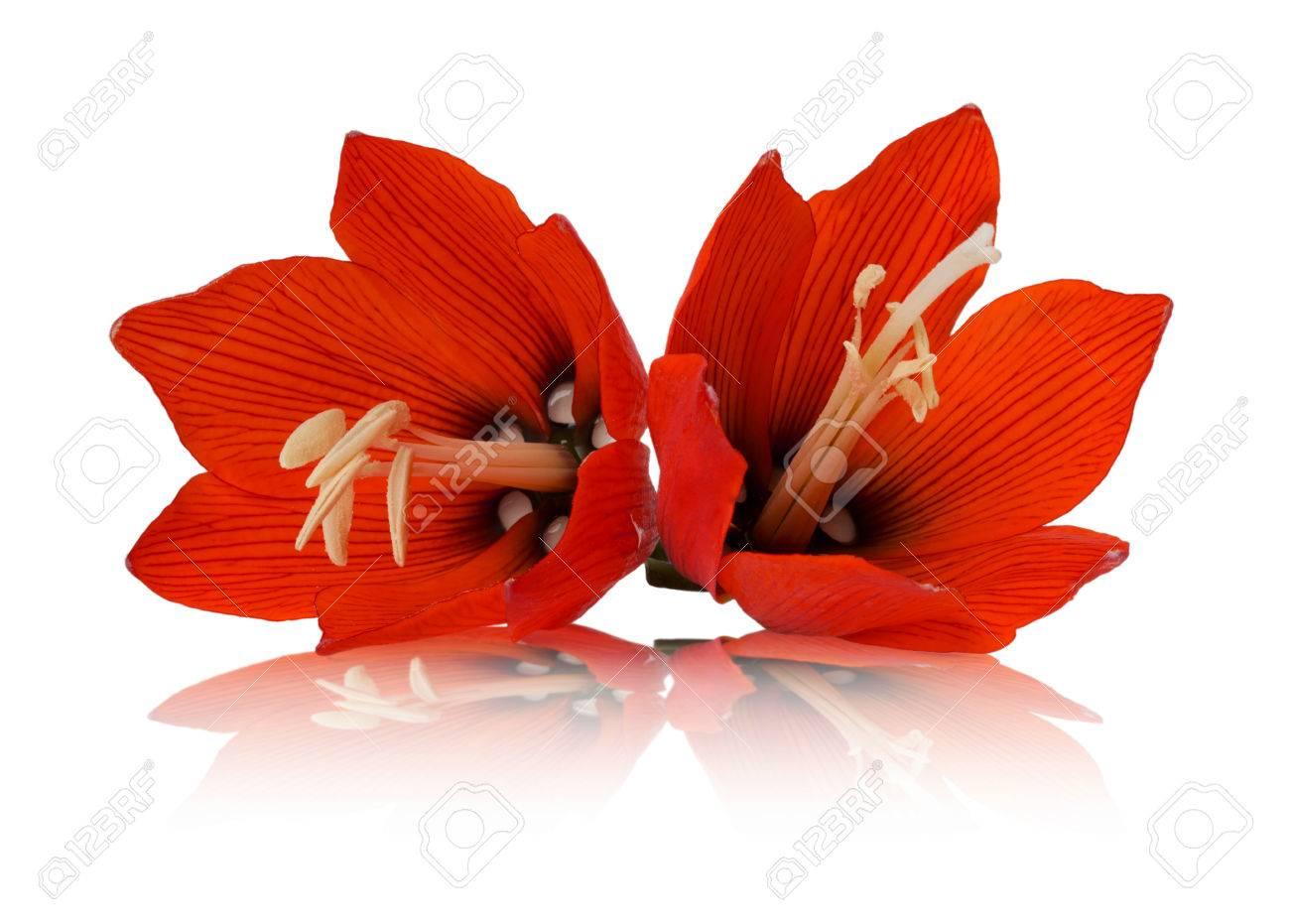 Lilis flower on a white background stock photo picture and royalty lilis flower on a white background stock photo 28227094 izmirmasajfo