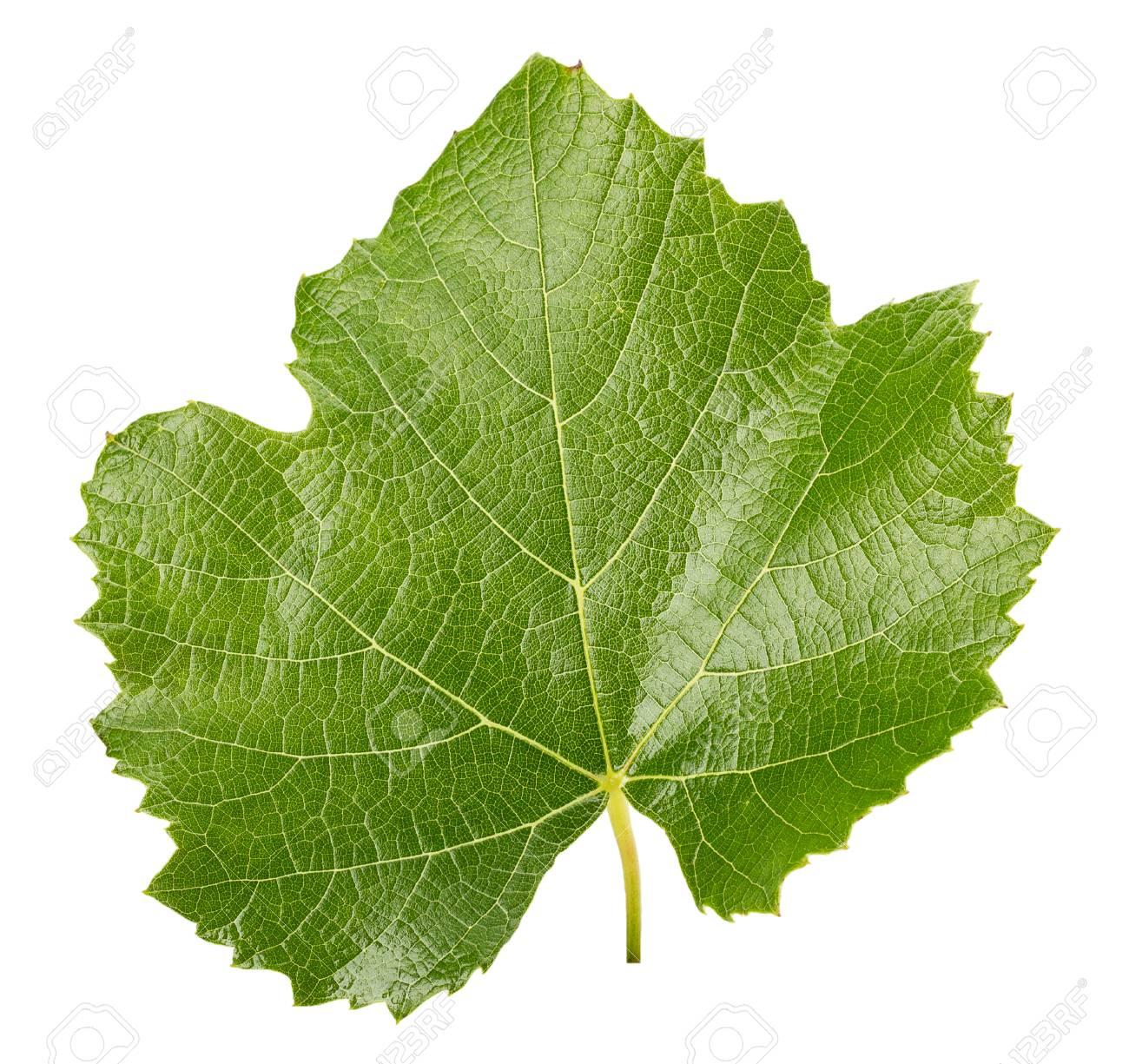 image: 35499879-feuille-de-vigne-isol%C3%A9-sur-fond-blanc-