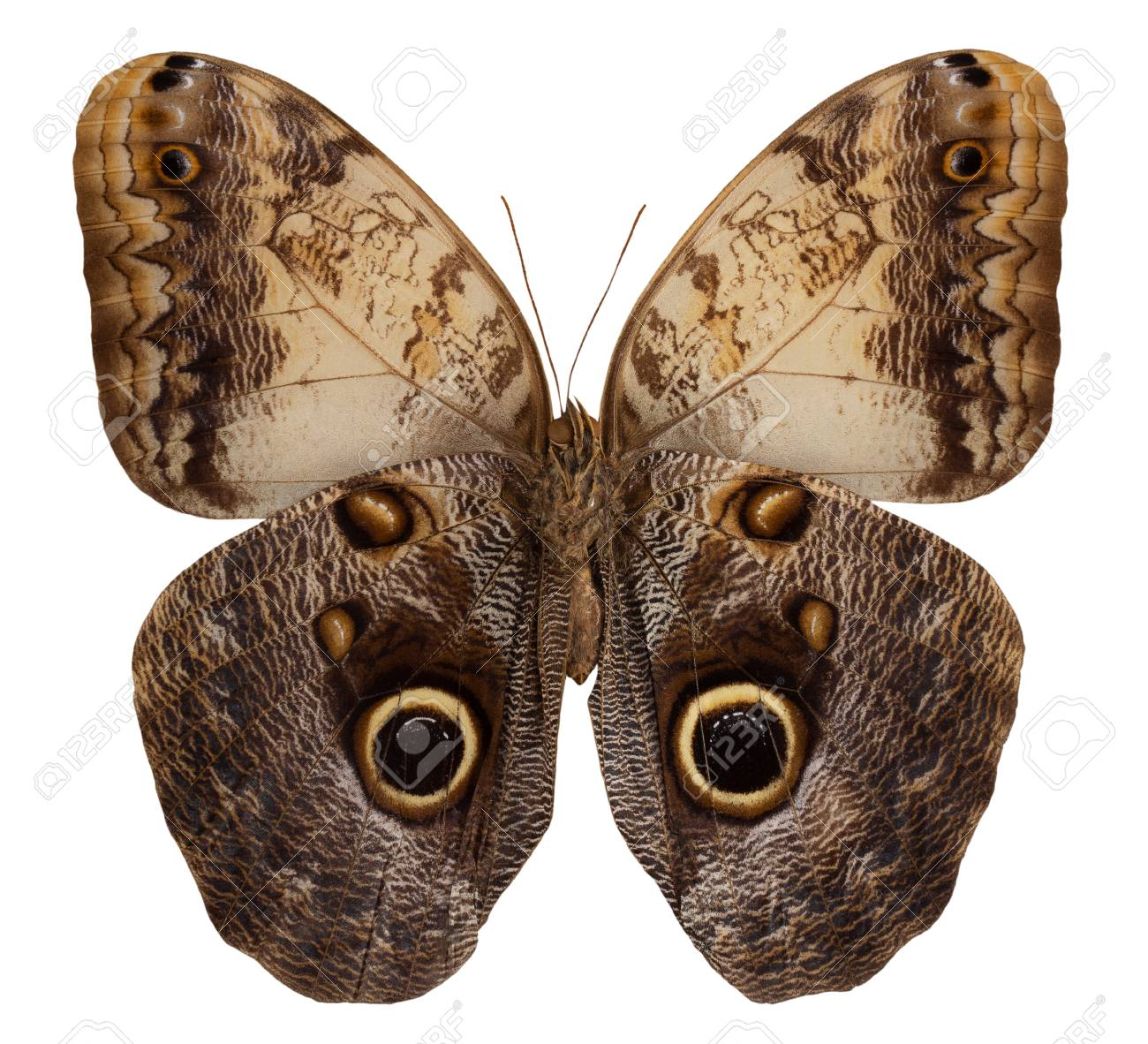 Butterfly Caligo Memnon Isolated On White Background. Stock Photo, Picture  And Royalty Free Image. Image 118806316.