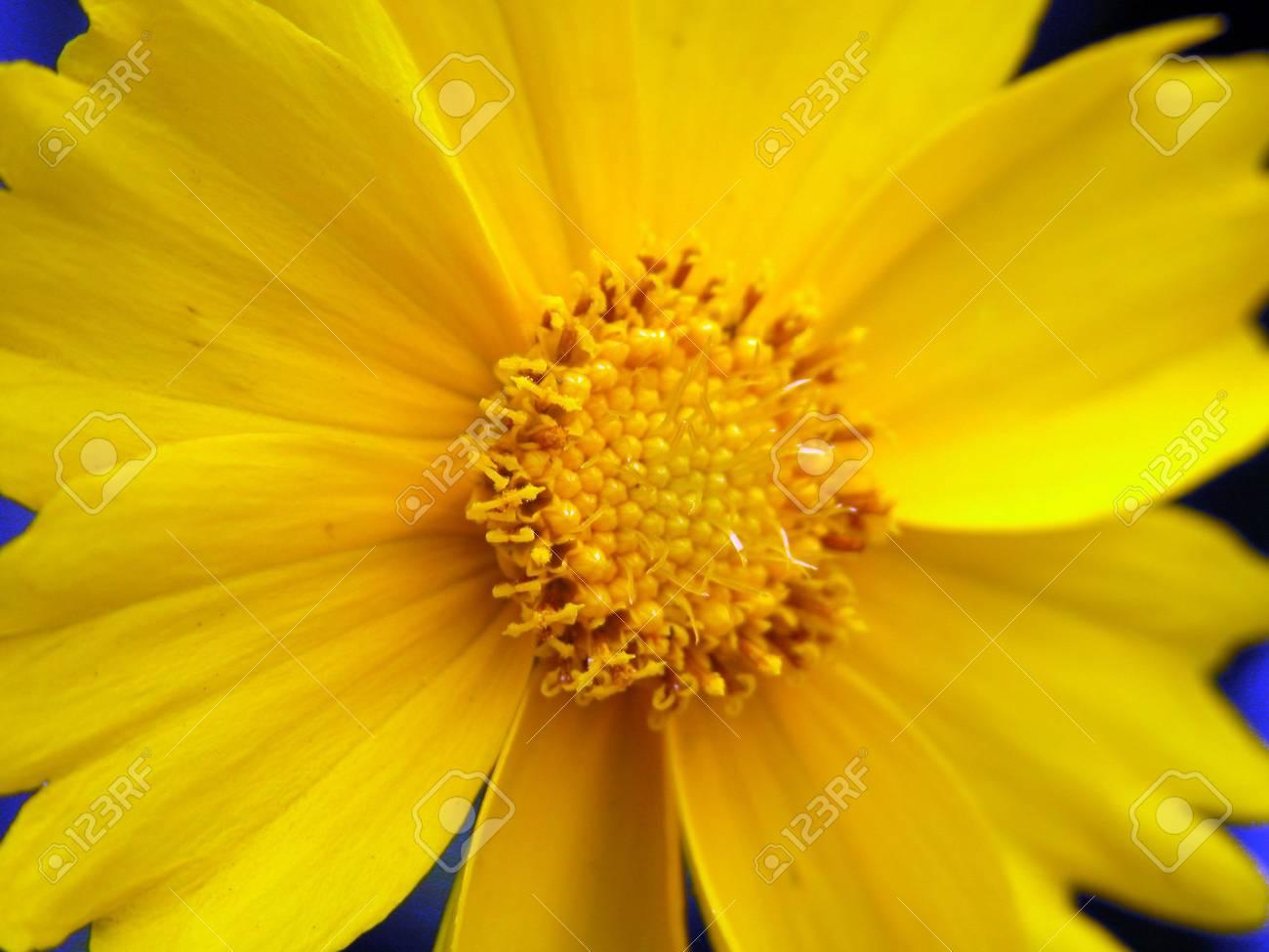 Fiore Giallo 6 Petali.Immagini Stock Fiore Giallo Fiore Del Sole Petali Image 328631
