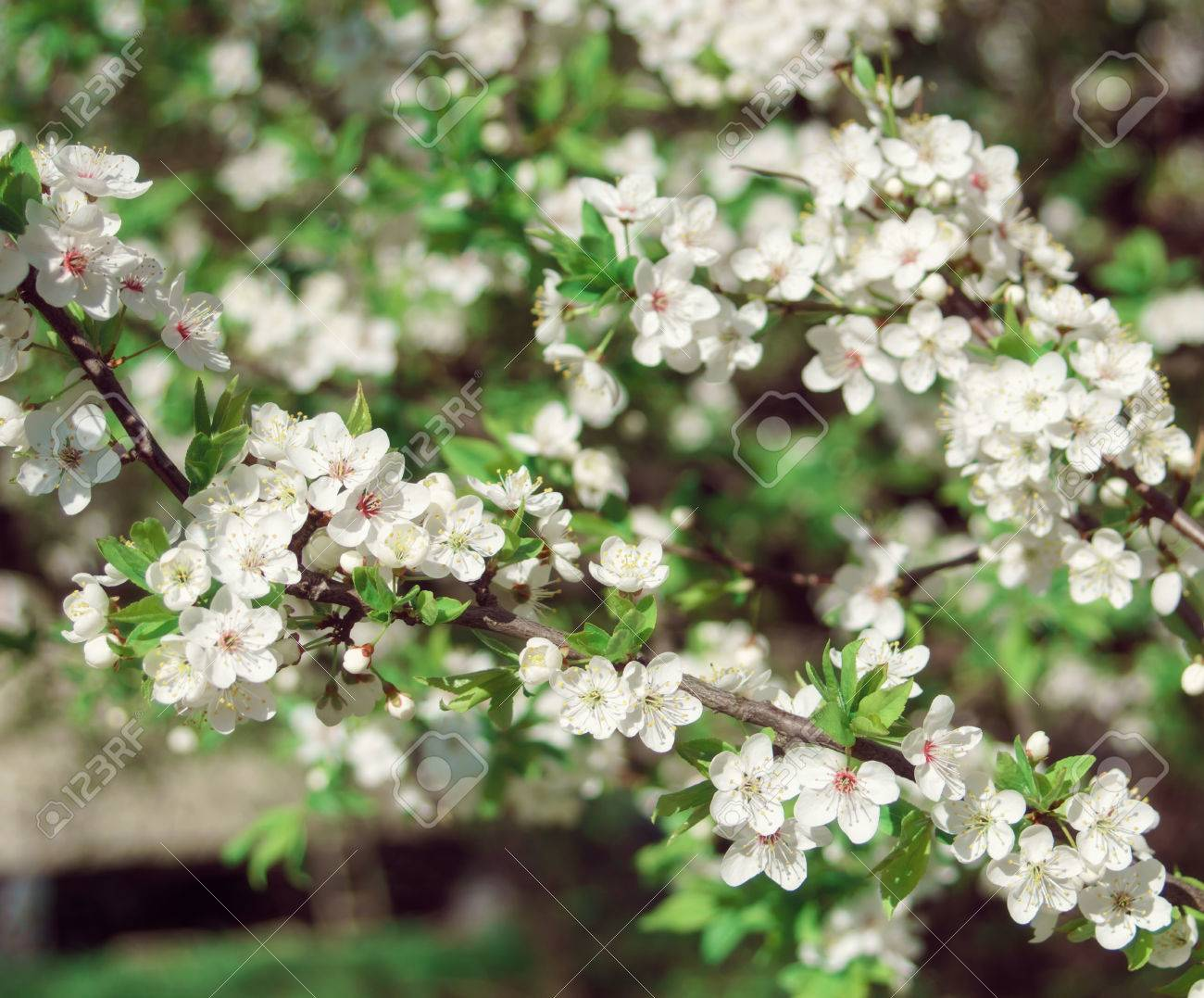 Blooming Nature At Sunny Day Flowering Tree With White Flowers