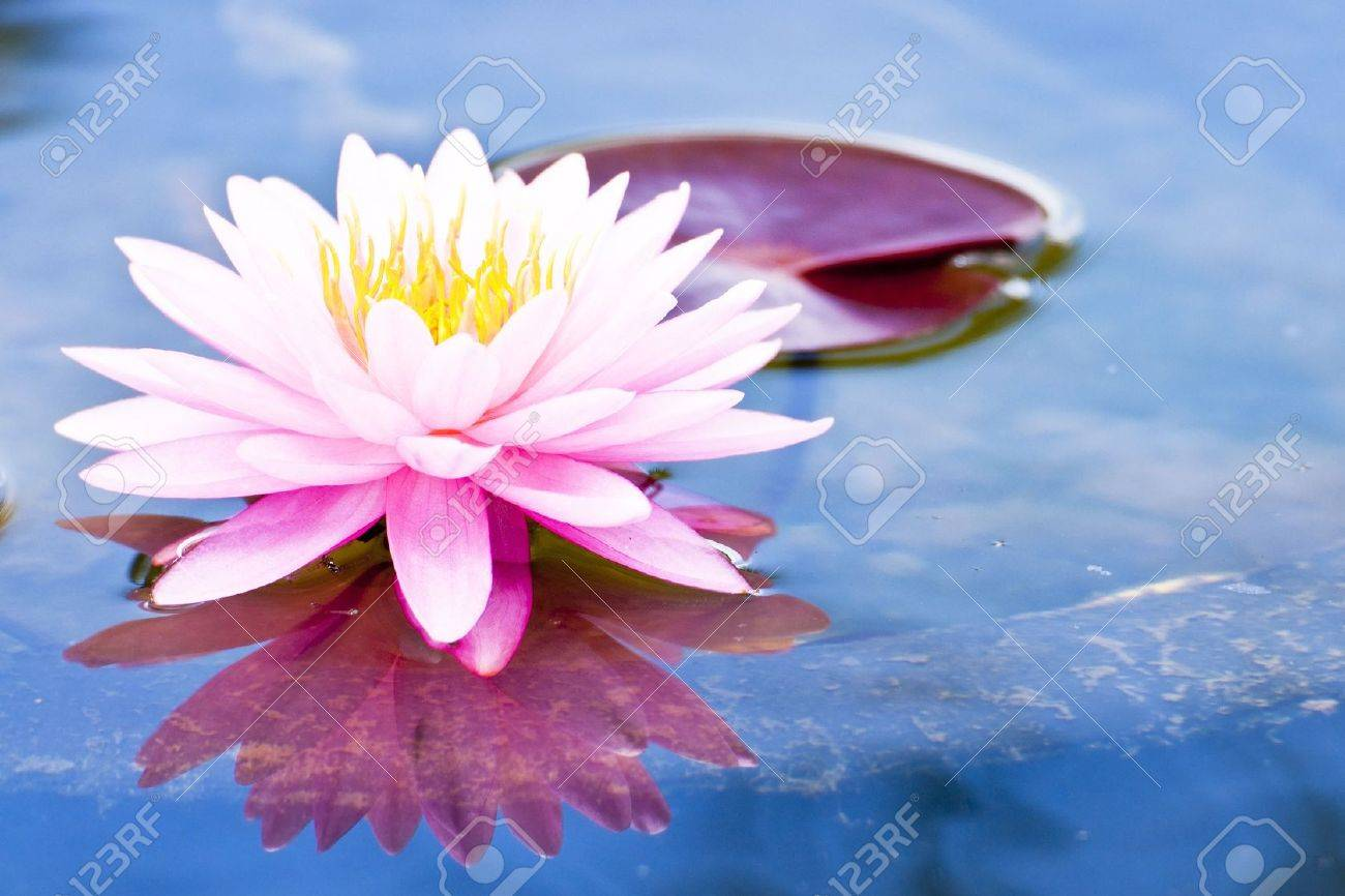 Lotus Flower Stock Photos Royalty Free Lotus Flower Images