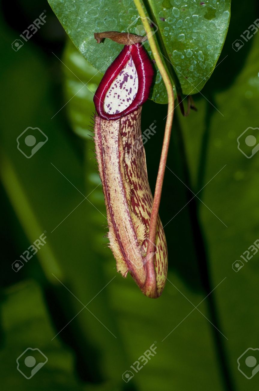 Trap Flower Plant Anatomy Nepenthes Pitfall Trap Monkey Cups.. Stock ...