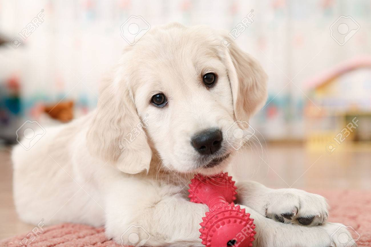 labrador retriever puppy playing with toy at room Stock Photo - 34369428