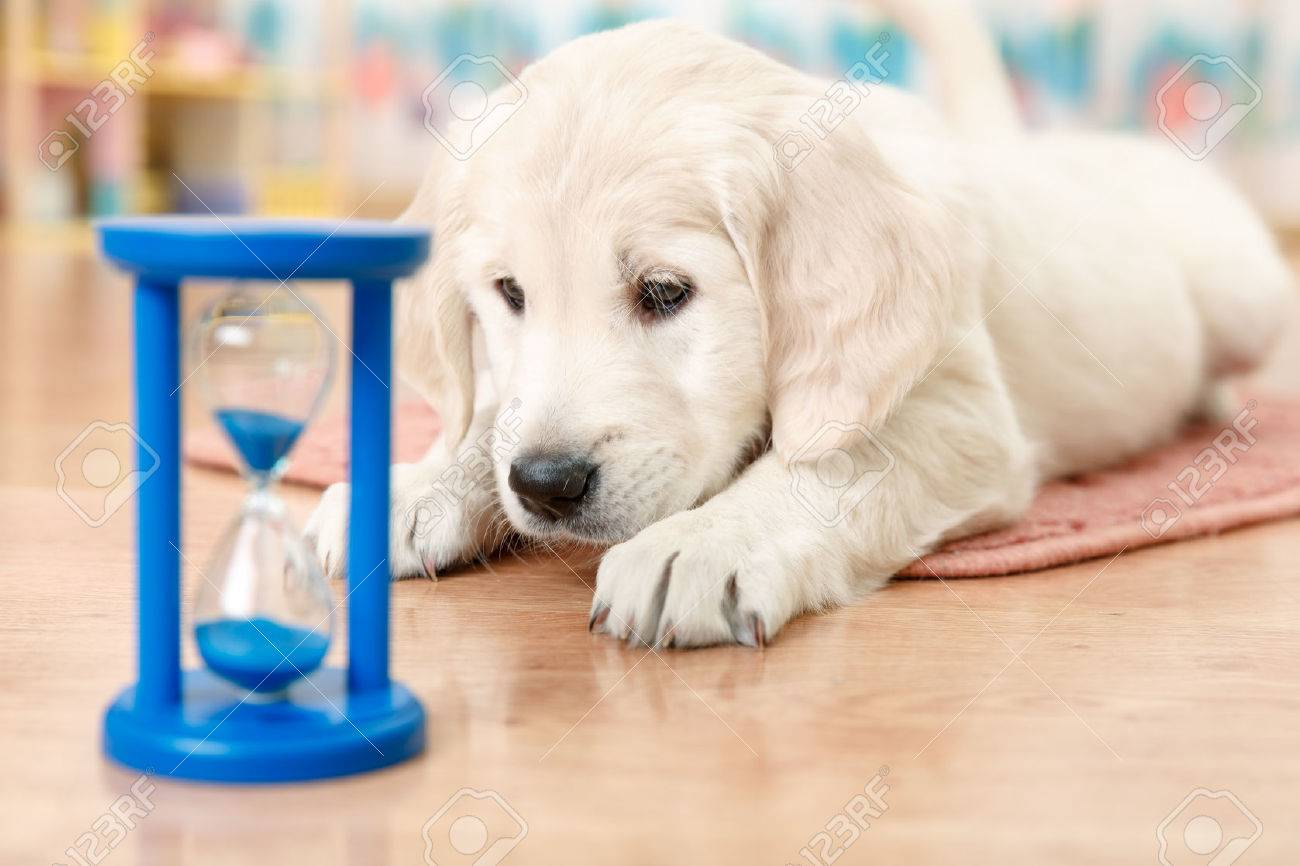 labrador retriever puppy watching at the hourglass Stock Photo - 34369606