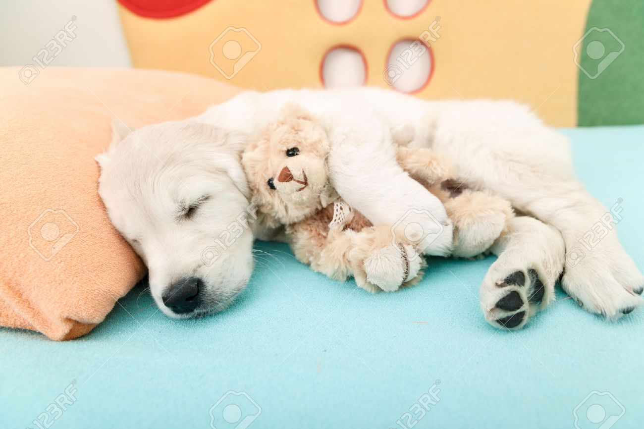 golden retriever puppy sleeping with toy on the bed Stock Photo - 34604013