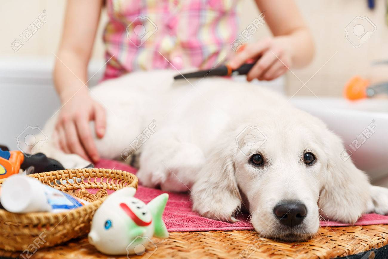 Girl owner is combing out the fur of retriever puppy after shower Stock Photo - 36804212