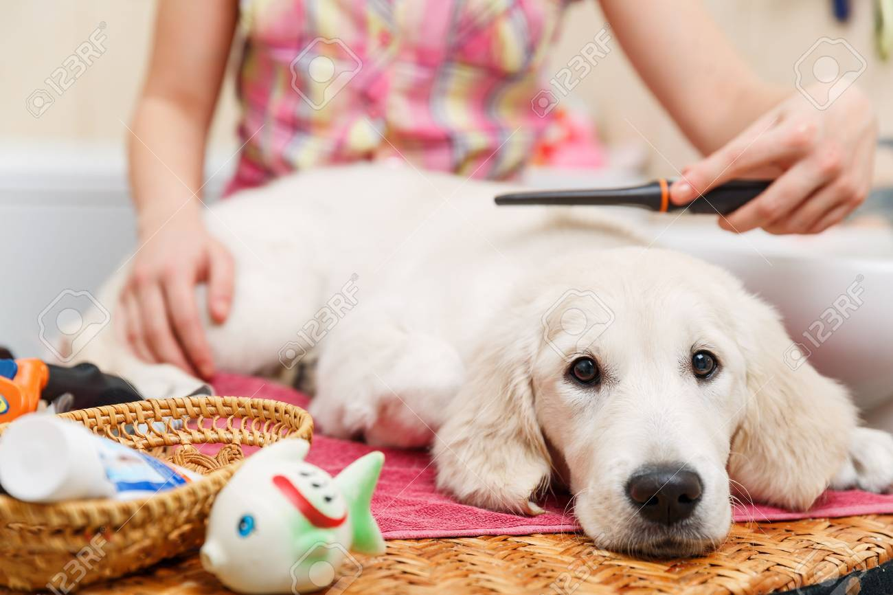 Girl owner is combing out the fur of retriever puppy after shower Stock Photo - 37046520