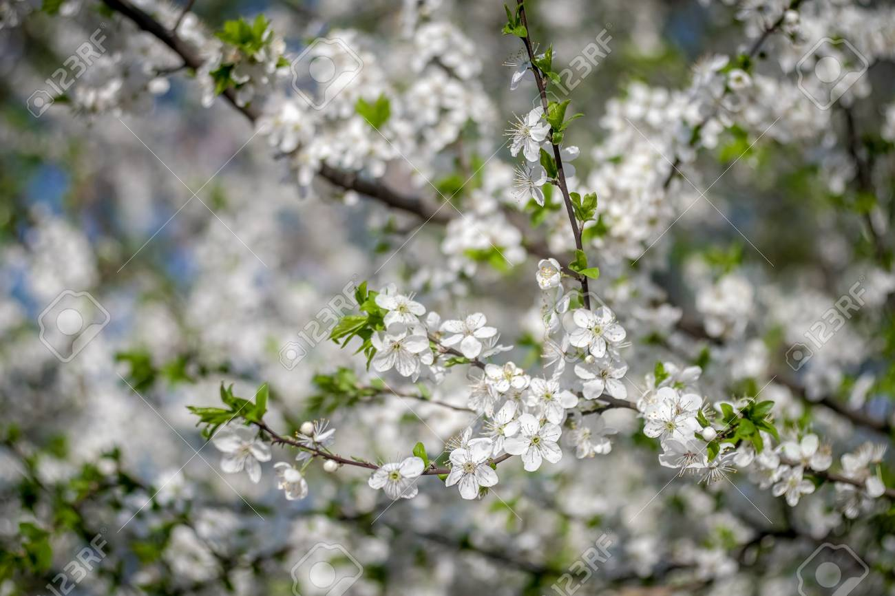 White Flowers Of Apricot Spring Flowering Of Fruit Trees A