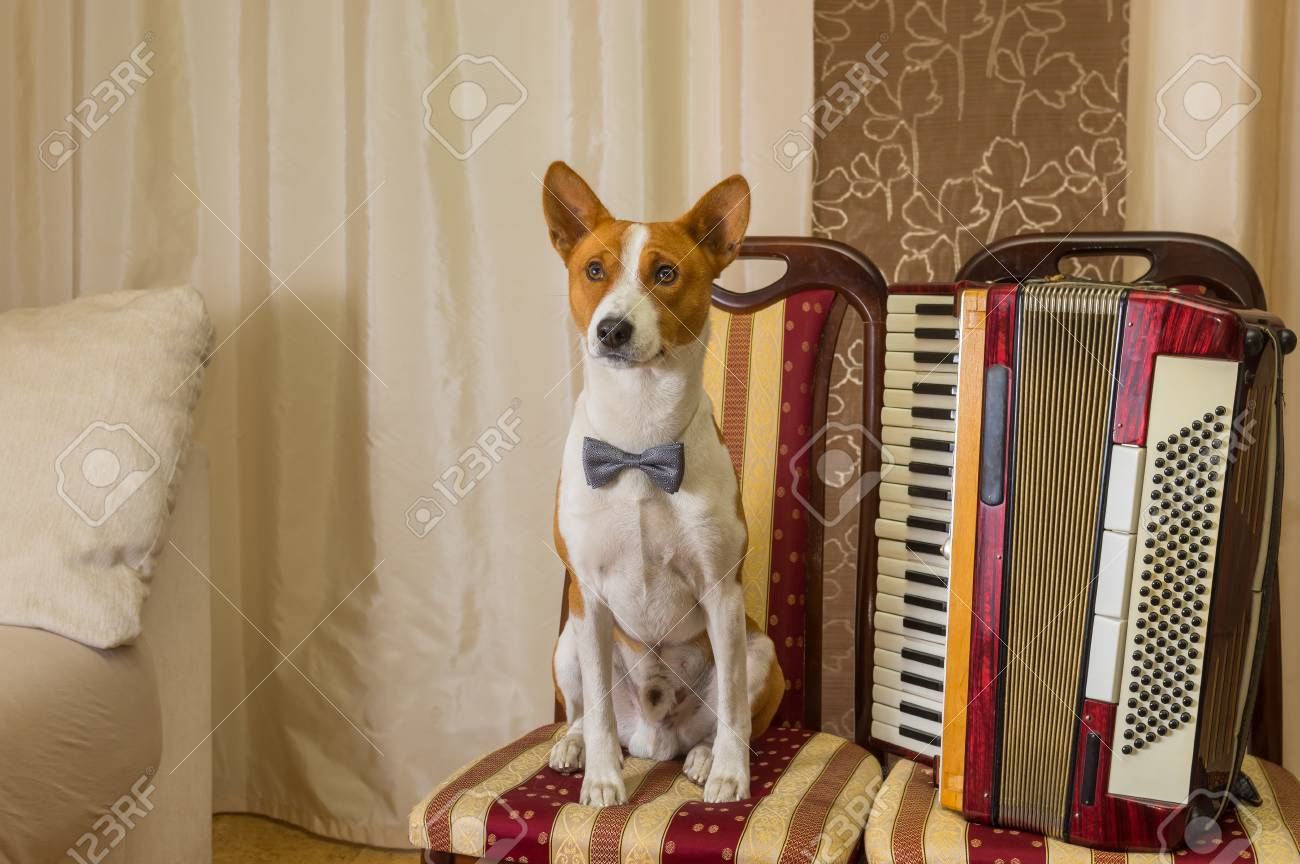 Wonderful Bow Tie Bow Adorable Dog - 48976190-adorable-basenji-dog-wearing-bow-tie-sitting-on-a-chair-next-to-an-accordion-and-waiting-worthy-rewa  Picture_282791  .jpg