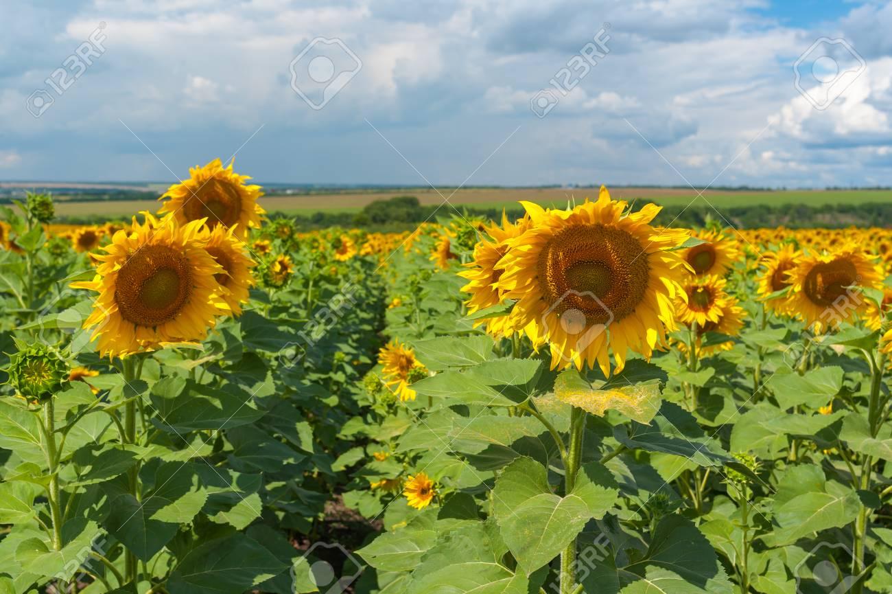 Ucraino paesaggio rurale con campo di girasoli