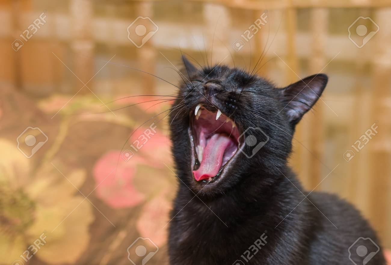 Portrait Of Yawning Black Cat With Closed Eyes Stock Photo Picture