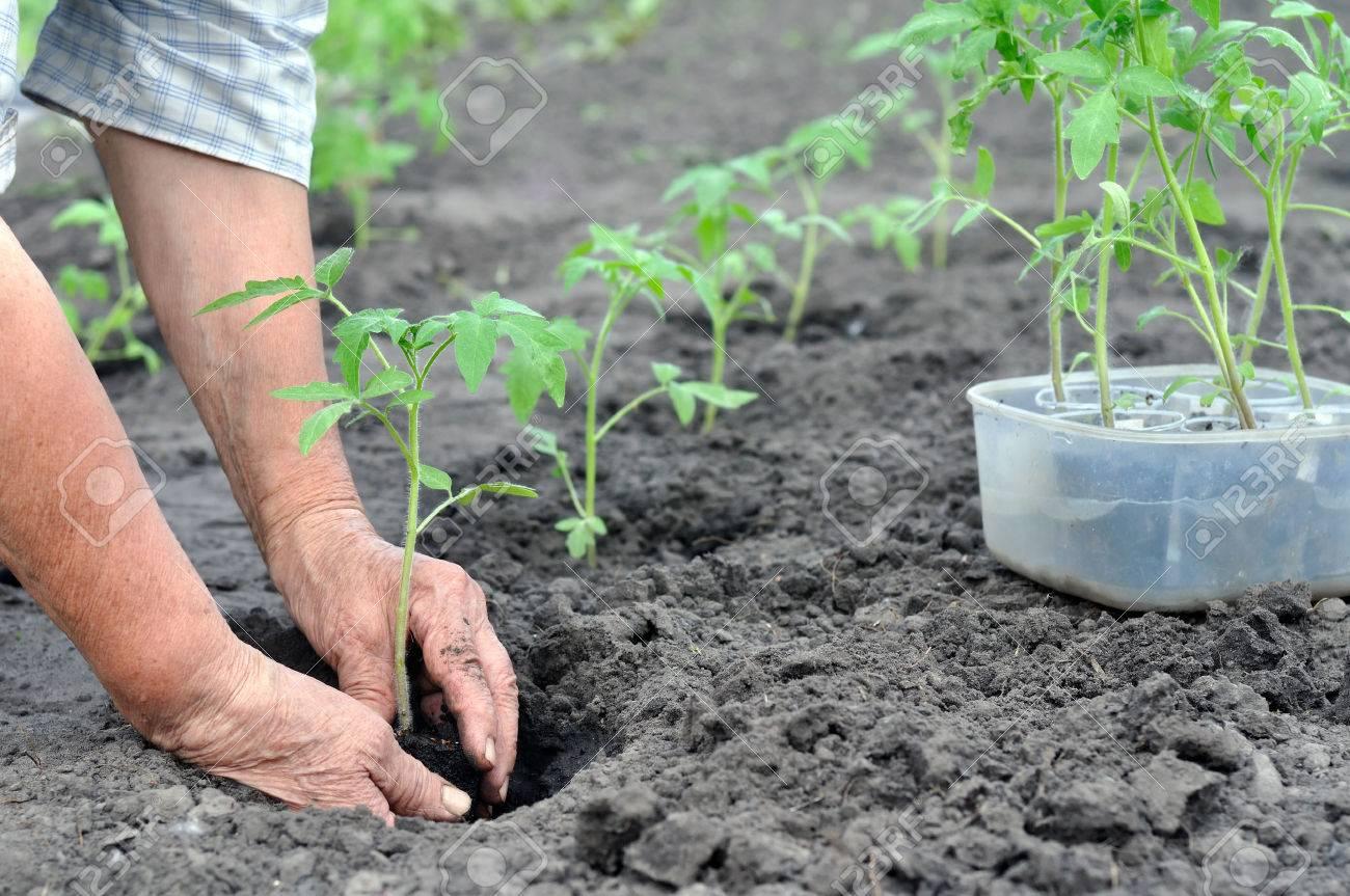 Выращивание томатов в низких парниках на садовом 29