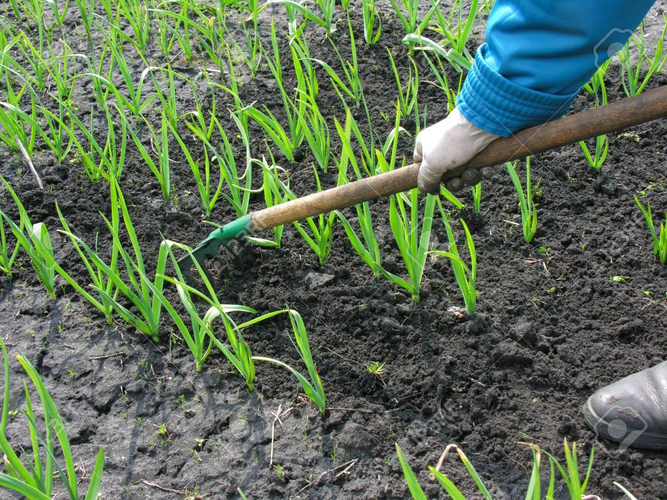 raking of garlic plantation seasonal work in the vegetable stock photo raking of garlic plantation seasonal work in the vegetable garden