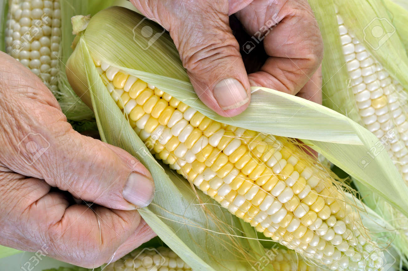 hands of senior woman cleaning freshly harvested young sweet corn in the vegetable garden - 159421030