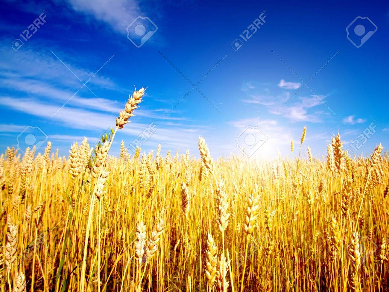 Golden wheat field with blue sky in background - 9088131