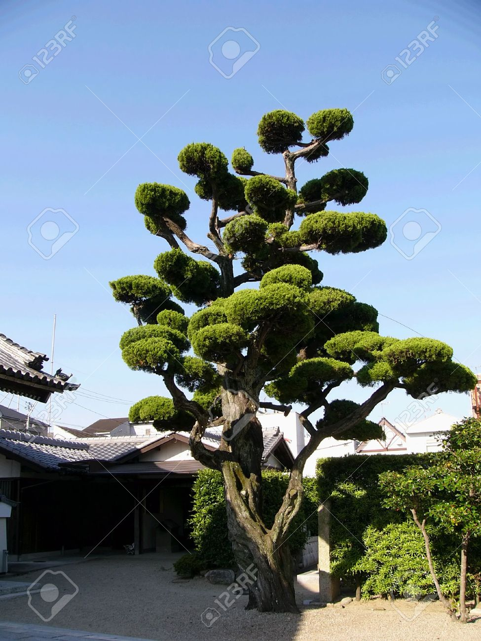 Japanese Tree In The Temple Backyard In Kyoto Japan Stock Photo