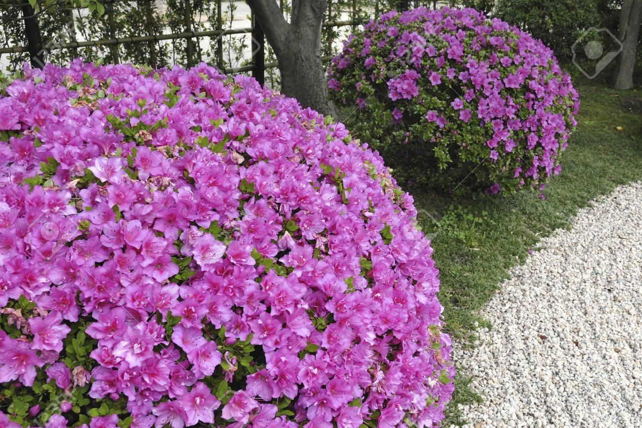Pink Blossom Azalea Bushes In Japanese Stone Garden Focus On